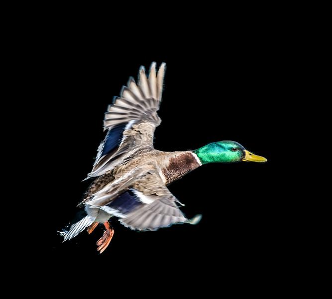 Male mallard duck flying over water, Switzerland
