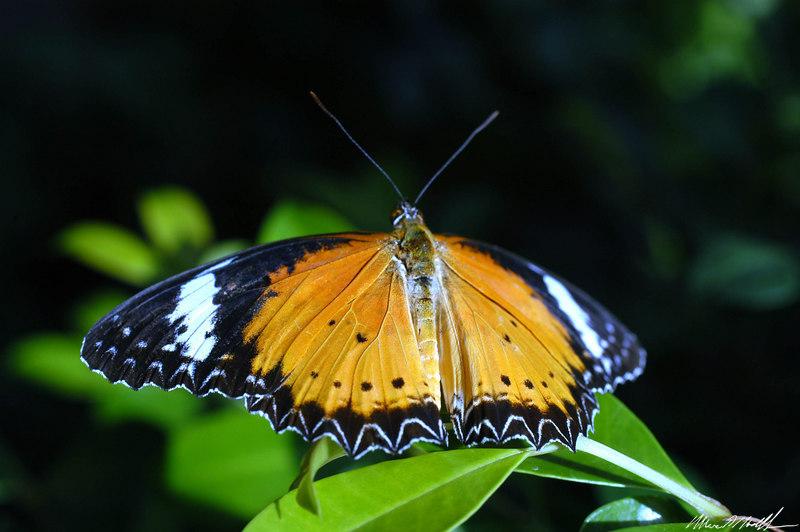 2006 Key West Butterflies DSC_0154.jpg