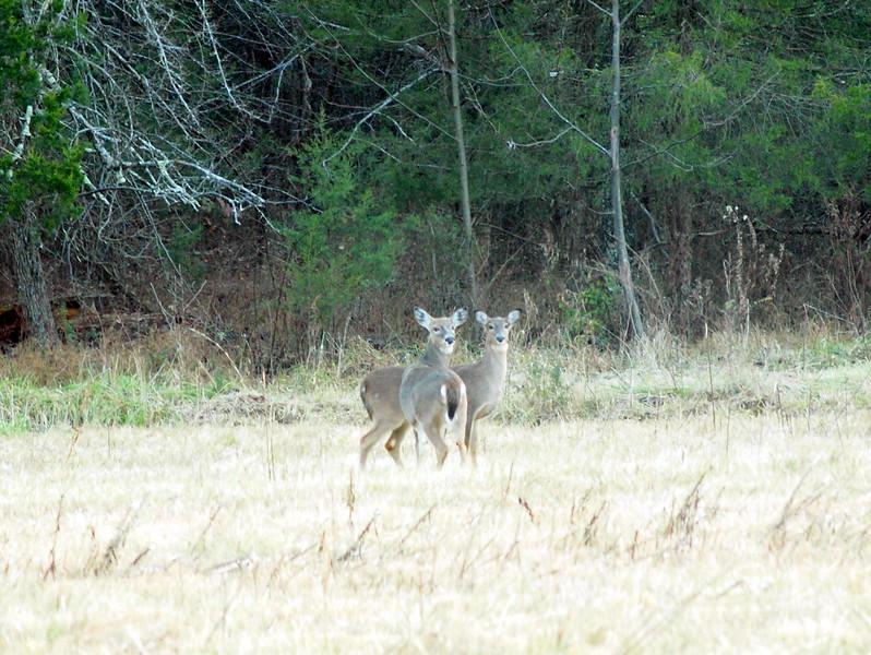 Deer Apco-002.JPG