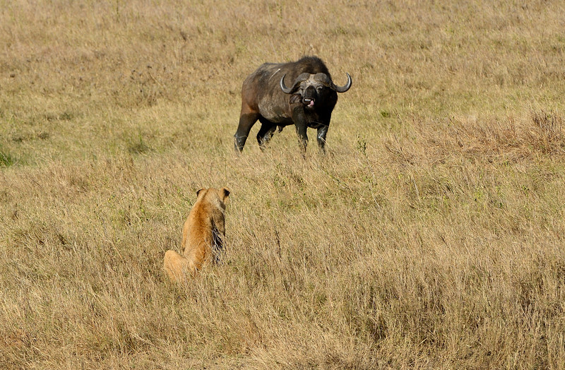 Stand-off-lioness-buffalo.jpg