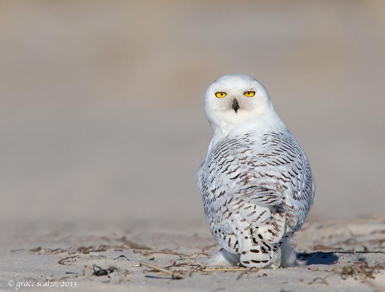 Snowy Owl _O8U1848-Edit.jpg
