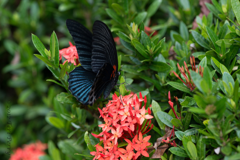 INSECTS - butterflies-0291.jpg