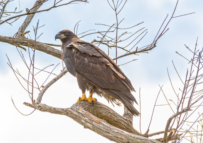 2017 Bald Eagle Chick-102.jpg