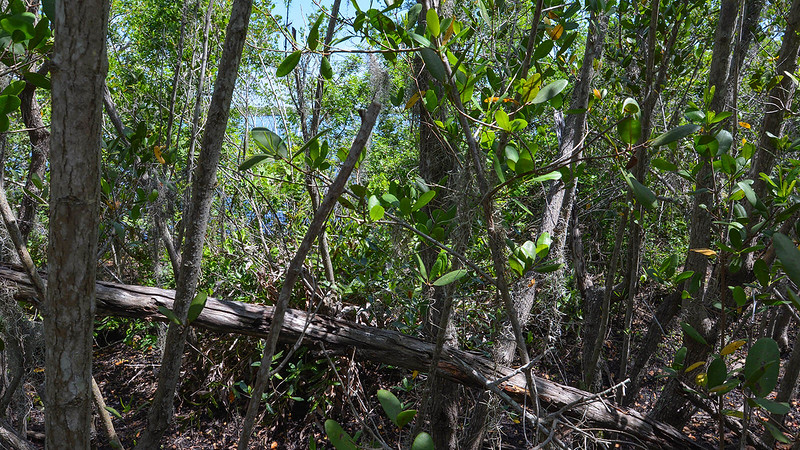Mangroves on the Peace River