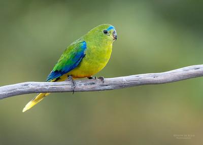 Orange-bellied Parrot (Neophema chrysogaster) CR