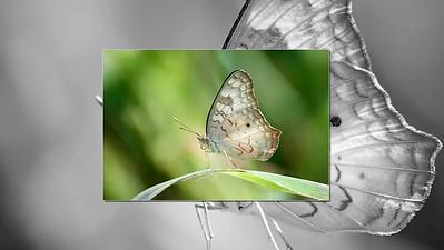 Buquoi Butterflies