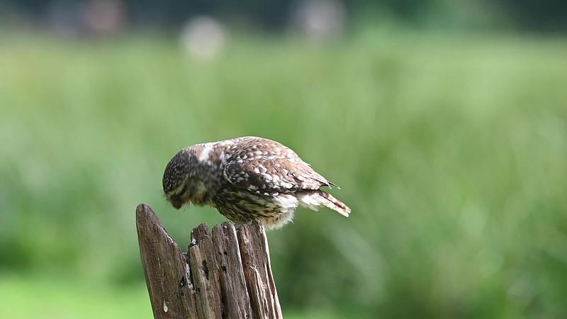 Little Owl at Knepp