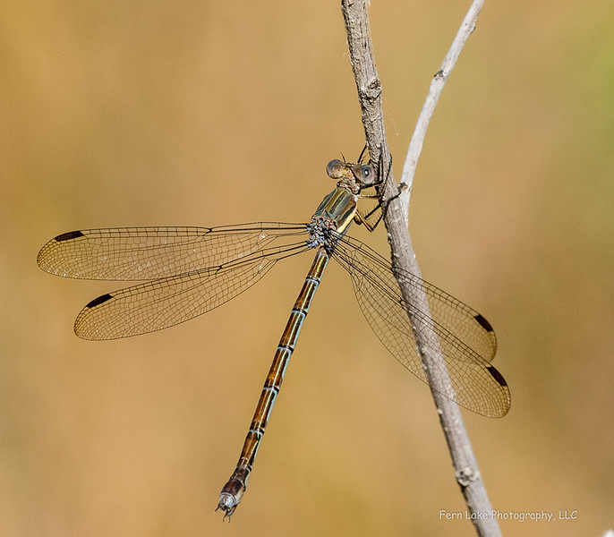 Great Spreading damselfly, Boulder County, CO