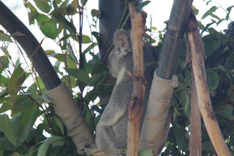 20170807-034 - San Diego Zoo - Koala.JPG