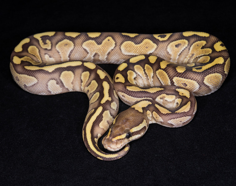 132FNUC, female Nuclear (Butter Fire), $125