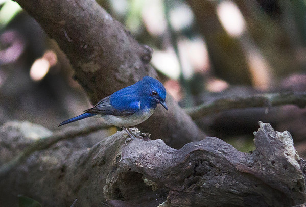 Thailand 2014 Birds