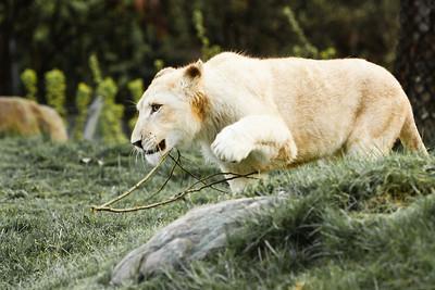 12-05-02 White Lions