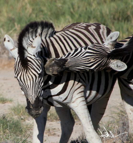 ZebraS-5.jpg