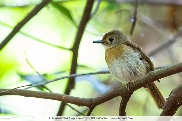 Fulvous-chested Jungle-Flycatcher