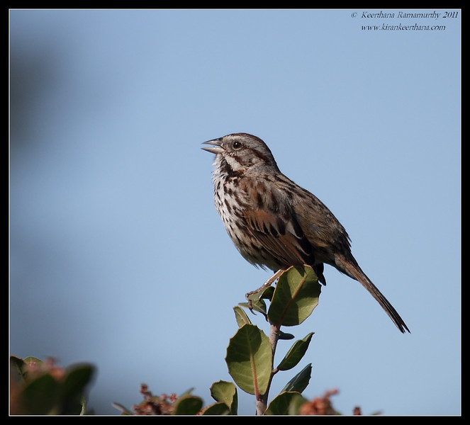 Song Sparrow, La Jolla Cove, San Diego County, California, February 2011