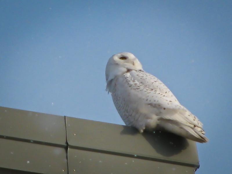 hanger snowy owl 1 Danny Favreau IMG_0519-Edit-1.jpg
