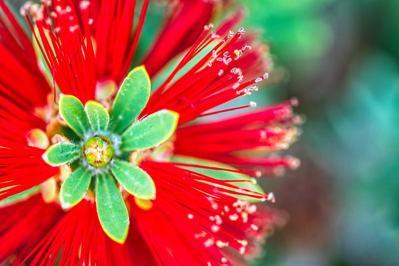 Crimson Bottlebrush-1.jpg