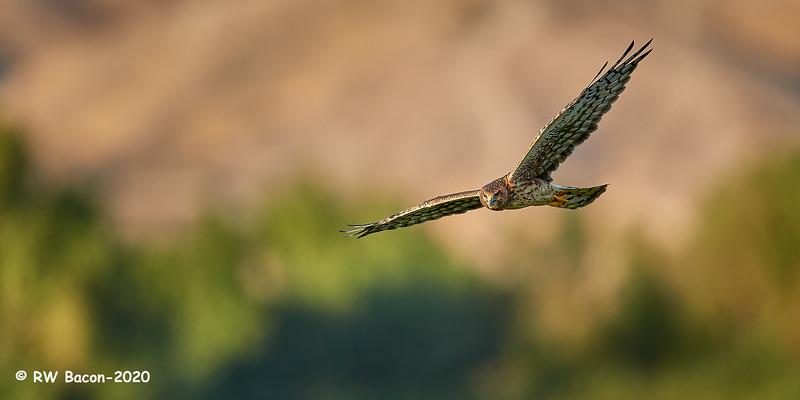 Harrier Stare.jpg