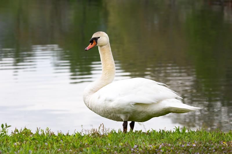 mute swan signed-37.JPG