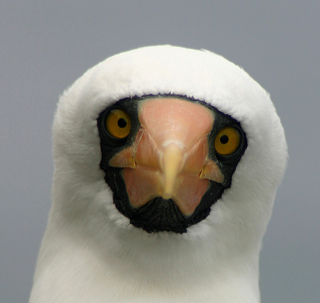 masked booby 3 (Malpelo Island).jpg
