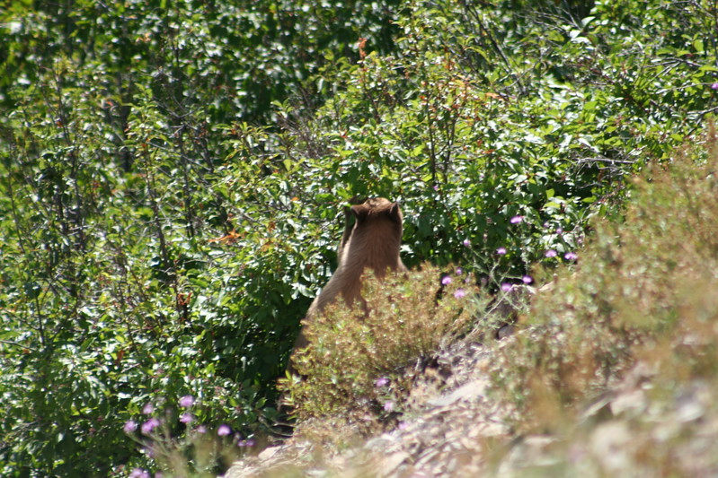 20110828 - 052 - GNP - Bear Cub Along Road By Many Glacier Hotel.JPG