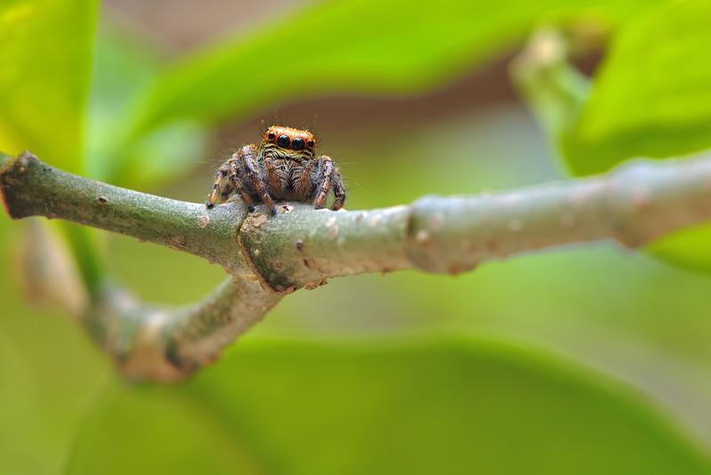 A-jumping-spider.jpg