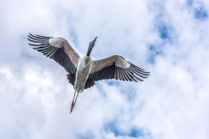 292zzzzz Wood Stork.JPG