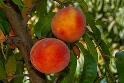 Late Elberta Peach - Prunus persica sp.