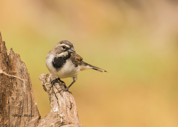 Black-throated Sparrow 2_DWL1754.jpg