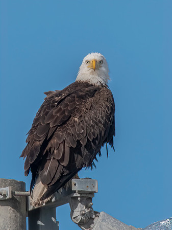 Bald Eagle Nest BE994 - March 5 & 9, 2021