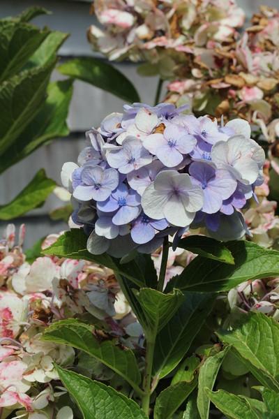Nantucket Flowers 2014