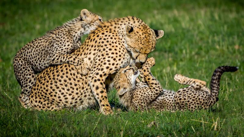 Cheetahs-0225.jpg