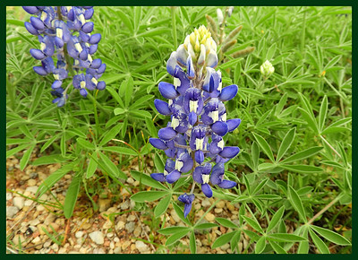 2019A Texas Hill Country Wildflowers