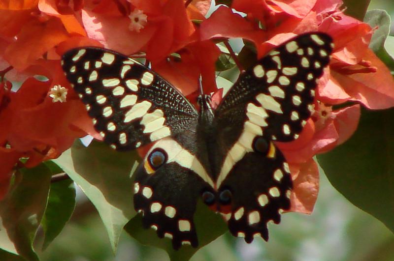 Papilio demodocus demodocus (Cirtus Swallowtail) 13.
