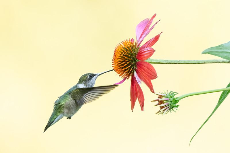 #1741 Ruby-throated Hummingbird