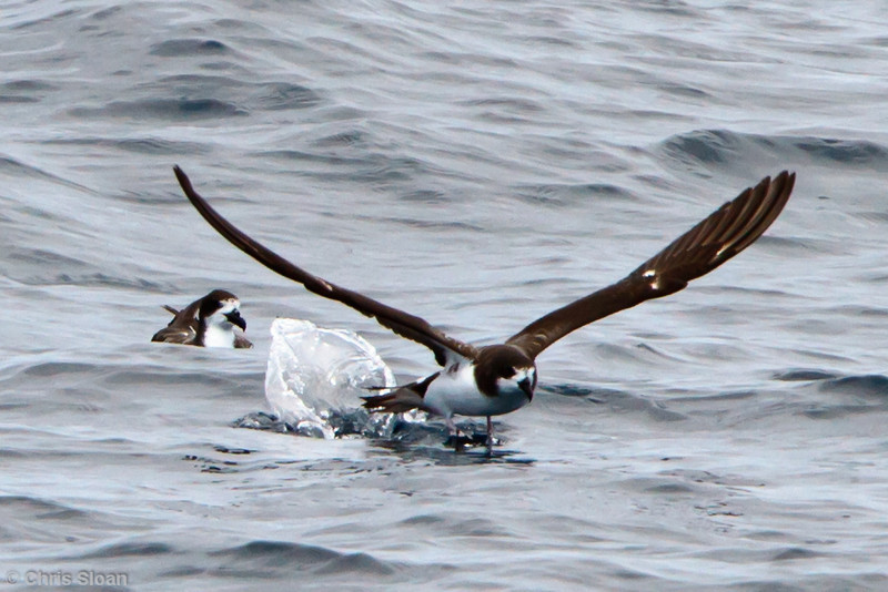 Galapagos Petrel at between Espanola and San Cristobal, Galapagos, Ecuador (11-21-2011) - 659.jpg