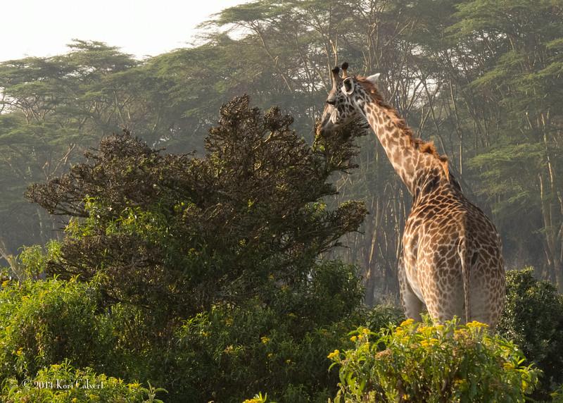 GiraffesK-2.jpg