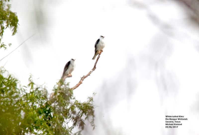 IMG_3173 3T White-tailed Kites Rio Bosque.jpg