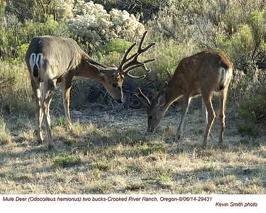 Mule Deer M29431.jpg