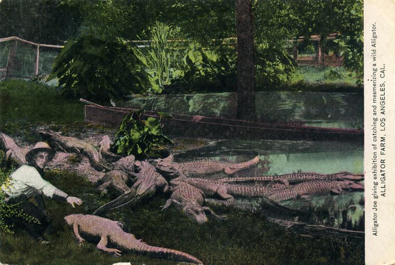 Alligator Joe