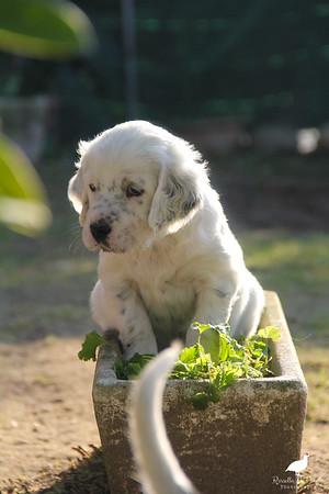 Briony Pups 30-45 days