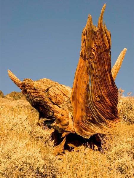 Bristlecone Pines-1.jpg