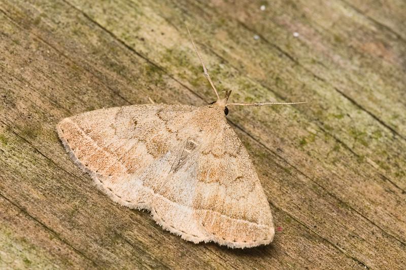 Wavy-lined Zanclognatha Moth, Zanclognatha jacchusalis