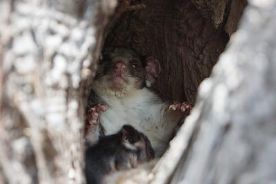 Possum File