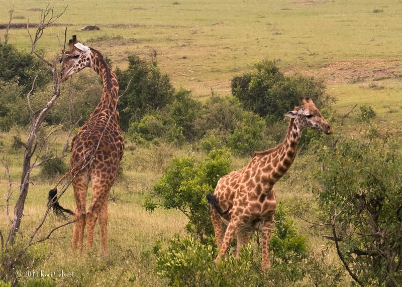 GiraffesK-1.jpg