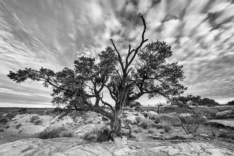 Dead Horse Point Tree BW.jpg