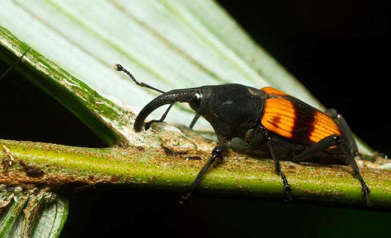 A large and colorful weevil (Dryophthoridae: possibly Metamasius sp.) from Panama.