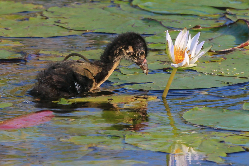 zAnahuac 8-14-14, NEW T3i, 034A, PG chick on Lilies (1 of 1).jpg