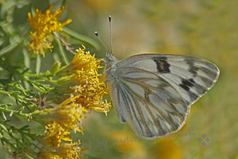Checkered White Butterfly ~ This female butterfly was photographed in Desert Hot Springs, California.
