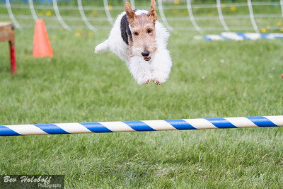 Alta Portugese Water Dog Agility trial Day 2